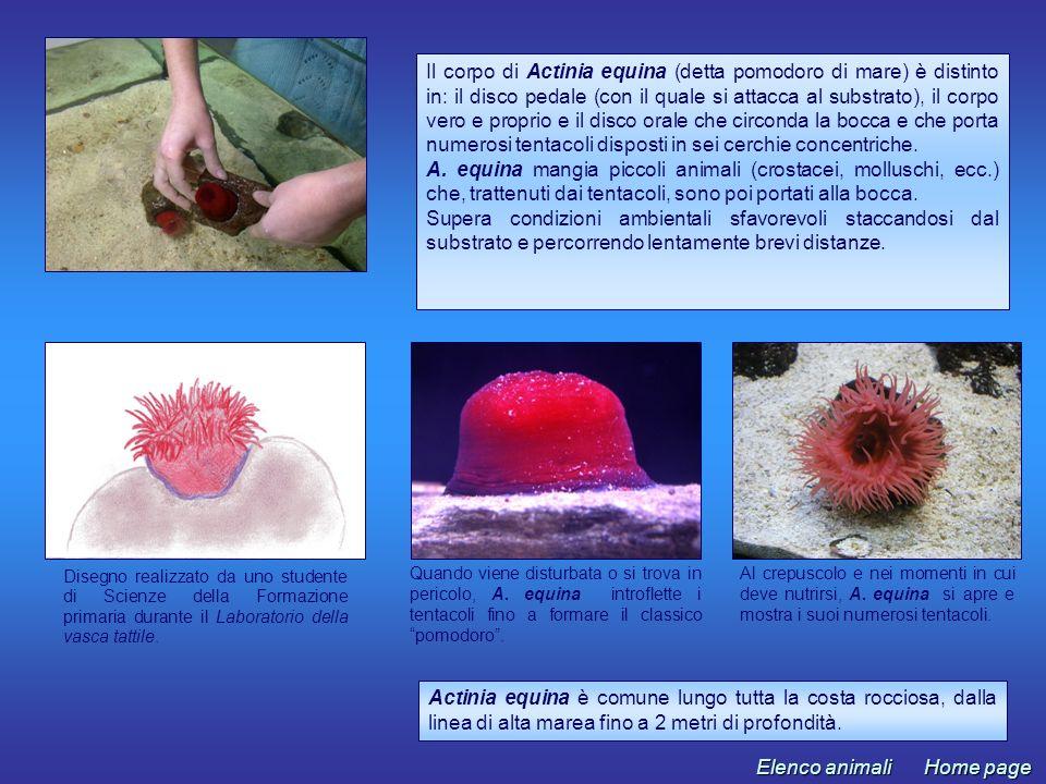 Actinia equina è comune lungo tutta la costa rocciosa, dalla linea di alta marea fino a 2 metri di profondità. Al crepuscolo e nei momenti in cui deve