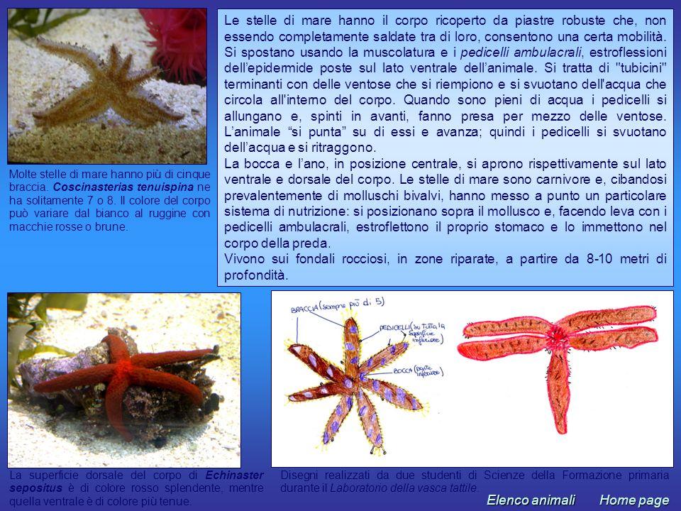 Molte stelle di mare hanno più di cinque braccia. Coscinasterias tenuispina ne ha solitamente 7 o 8. Il colore del corpo può variare dal bianco al rug