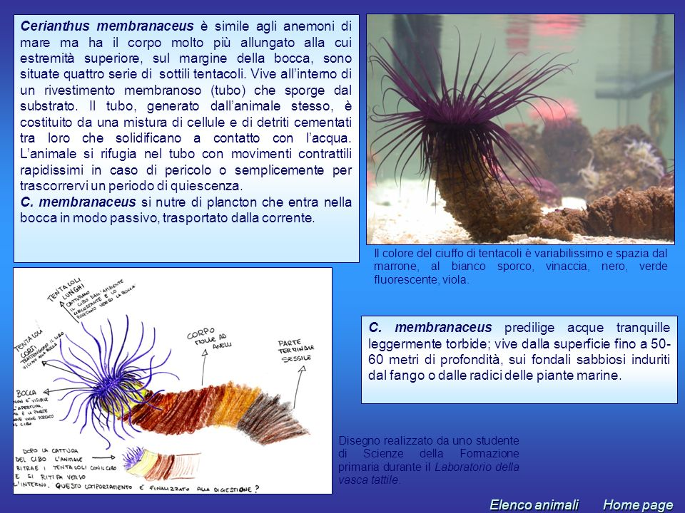 Il colore del ciuffo di tentacoli è variabilissimo e spazia dal marrone, al bianco sporco, vinaccia, nero, verde fluorescente, viola. Disegno realizza