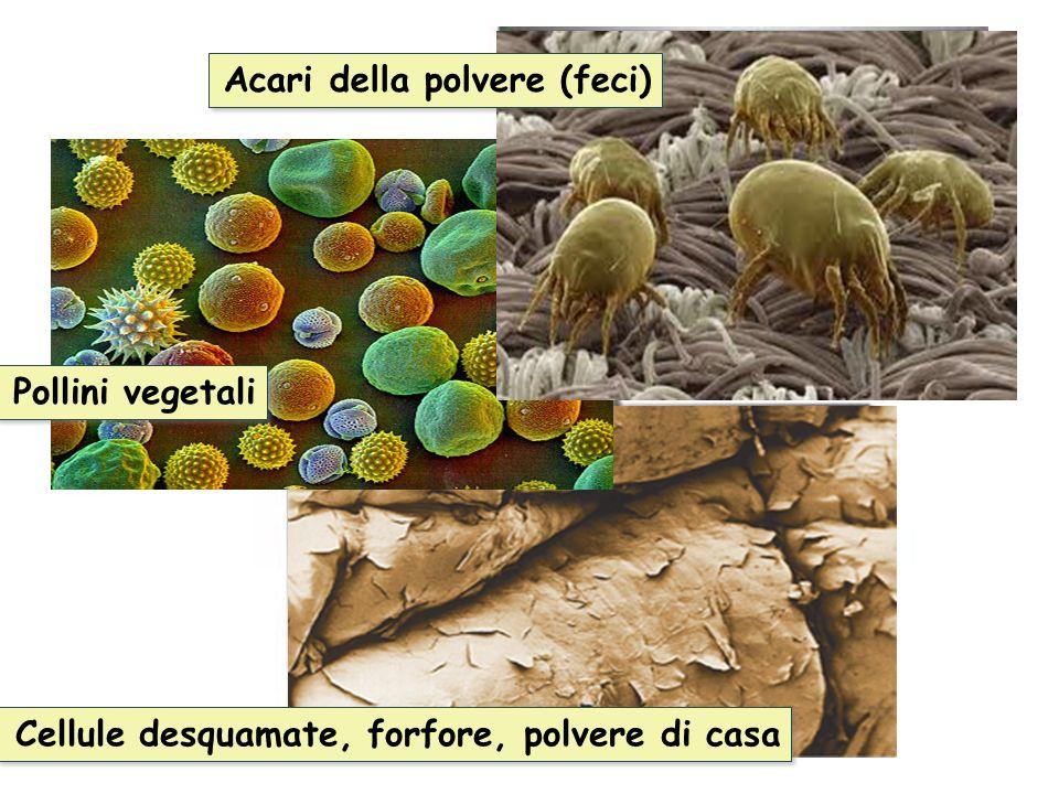 Cellule desquamate, forfore, polvere di casa Pollini vegetali Acari della polvere (feci)