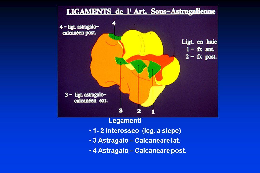 Medio-tarsica (Chopart) 1 – Articolazione astragalo-navicolare (astragalo-scafoidea)