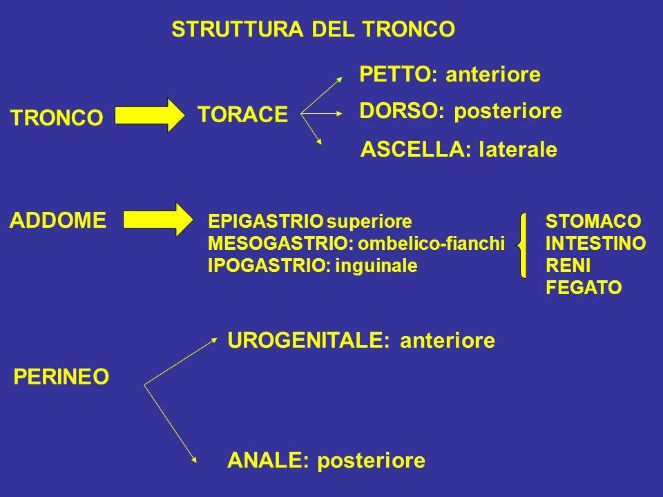 STRUTTURA DEL TRONCO TRONCO TORACE PETTO: anteriore DORSO: posteriore ASCELLA: laterale ADDOME EPIGASTRIO superiore MESOGASTRIO: ombelico-fianchi IPOGASTRIO: inguinale STOMACO INTESTINO RENI FEGATO PERINEO UROGENITALE: anteriore ANALE: posteriore
