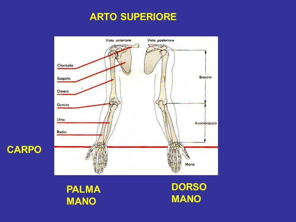 ARTO SUPERIORE PALMA MANO DORSO MANO CARPO