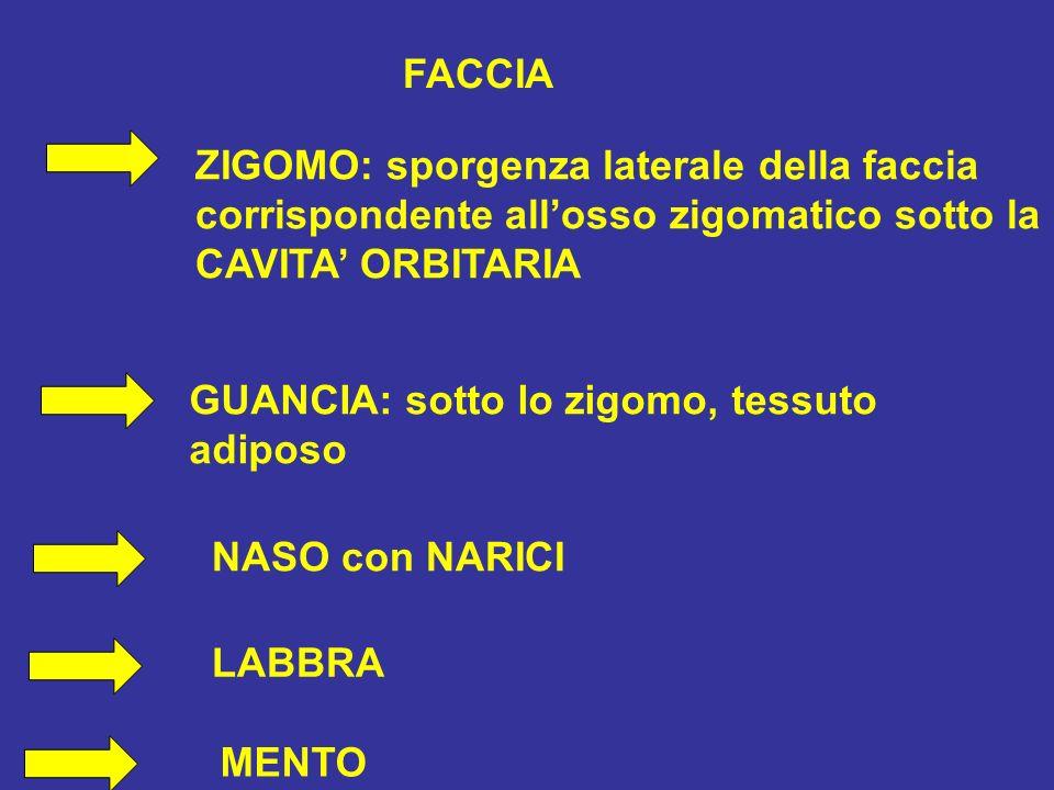 FACCIA ZIGOMO: sporgenza laterale della faccia corrispondente allosso zigomatico sotto la CAVITA ORBITARIA GUANCIA: sotto lo zigomo, tessuto adiposo NASO con NARICI LABBRA MENTO