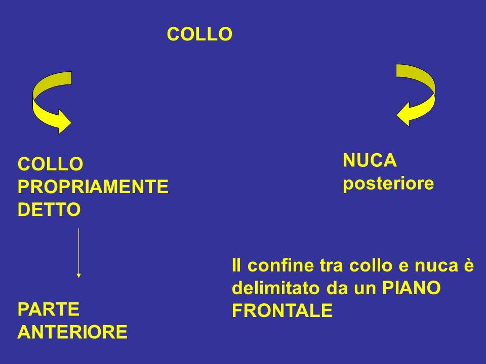 COLLO PROPRIAMENTE DETTO PARTE ANTERIORE NUCA posteriore Il confine tra collo e nuca è delimitato da un PIANO FRONTALE