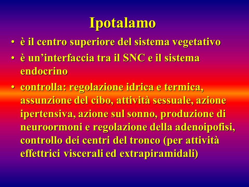 Ipotalamo è il centro superiore del sistema vegetativoè il centro superiore del sistema vegetativo è uninterfaccia tra il SNC e il sistema endocrinoè