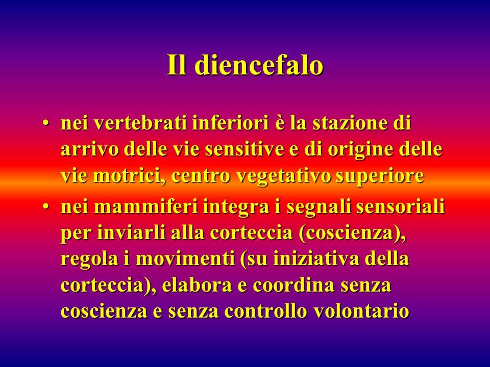 Il diencefalo nei vertebrati inferiori è la stazione di arrivo delle vie sensitive e di origine delle vie motrici, centro vegetativo superiorenei vert