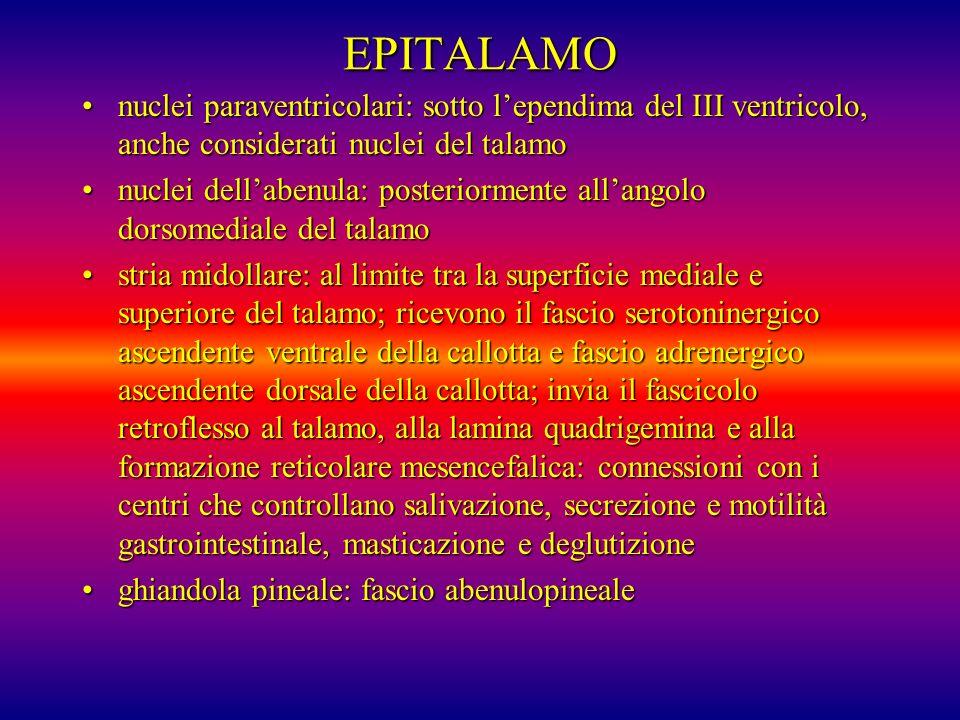EPITALAMO nuclei paraventricolari: sotto lependima del III ventricolo, anche considerati nuclei del talamonuclei paraventricolari: sotto lependima del