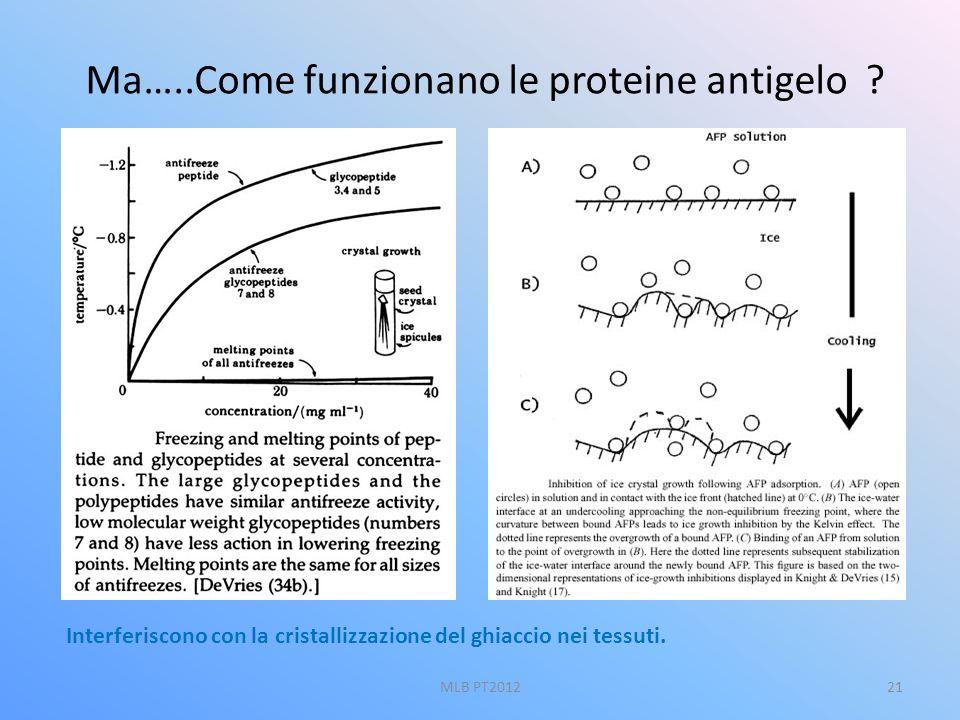 Ma…..Come funzionano le proteine antigelo ? Interferiscono con la cristallizzazione del ghiaccio nei tessuti. 21MLB PT2012