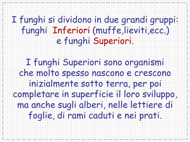 I funghi si dividono in due grandi gruppi: funghi Inferiori (muffe,lieviti,ecc.) e funghi Superiori. I funghi Superiori sono organismi che molto spess