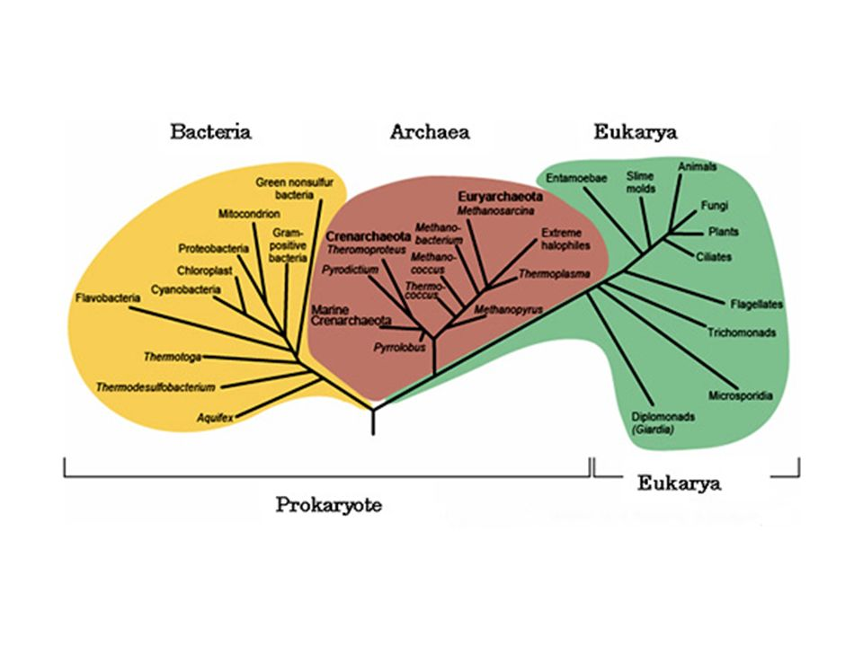 Funzione dei flagelli Servono per il movimento orientato Chemiotassi (verso un nutriente) Aerotassi (verso un concentrazione favorevole di ossigeno) Fototassi (verso la luce)