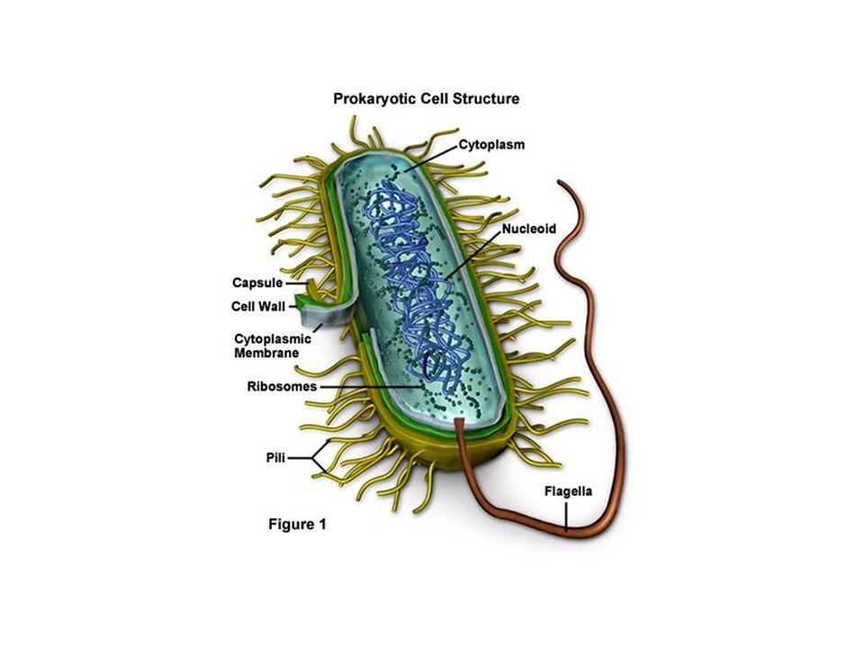 Citoplasma E un GEL GRANULARE contenente acqua (75%) e soluti (25%) In questa soluzione sono immersi i ribosomi, il DNA e i plasmidi In alcuni batteri si possono trovare anche sostanze di riserva, accumulate in forma insolubile e vescicole gassose (galleggiamento)