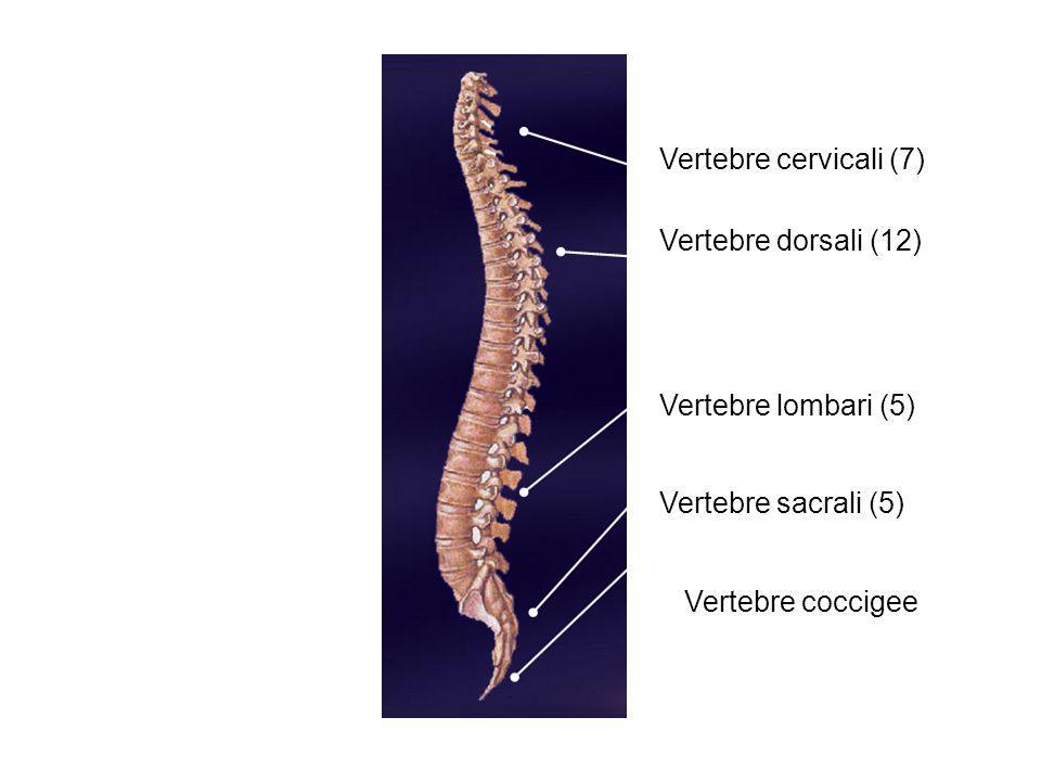 Vertebre cervicali (7) Vertebre dorsali (12) Vertebre lombari (5) Vertebre sacrali (5) Vertebre coccigee