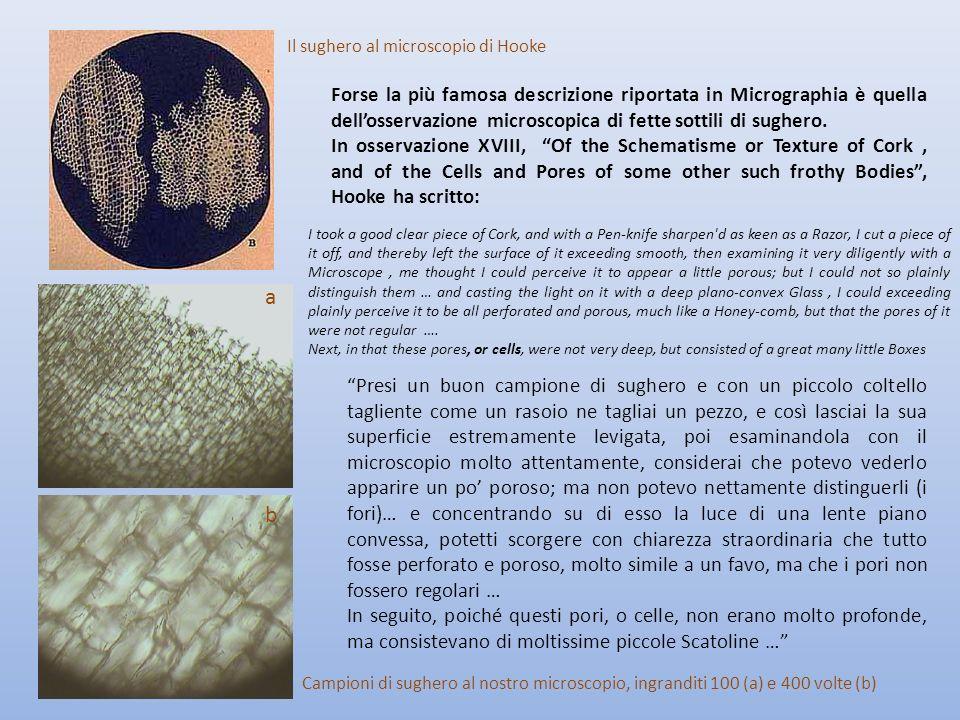 Forse la più famosa descrizione riportata in Micrographia è quella dellosservazione microscopica di fette sottili di sughero. In osservazione XVIII, O