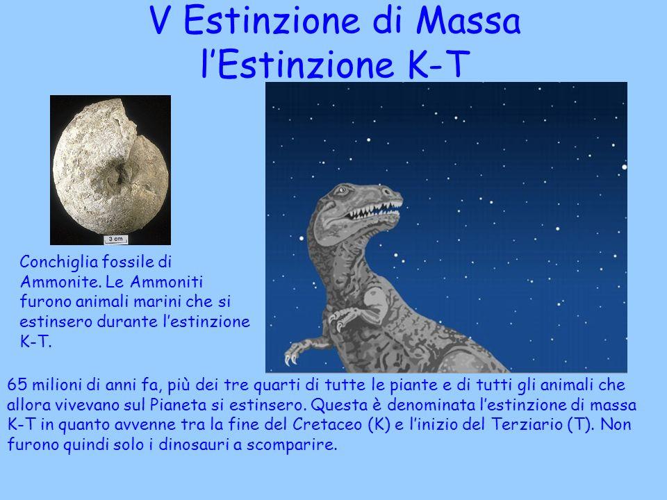 Conchiglia fossile di Ammonite. Le Ammoniti furono animali marini che si estinsero durante lestinzione K-T. V Estinzione di Massa lEstinzione K-T 65 m