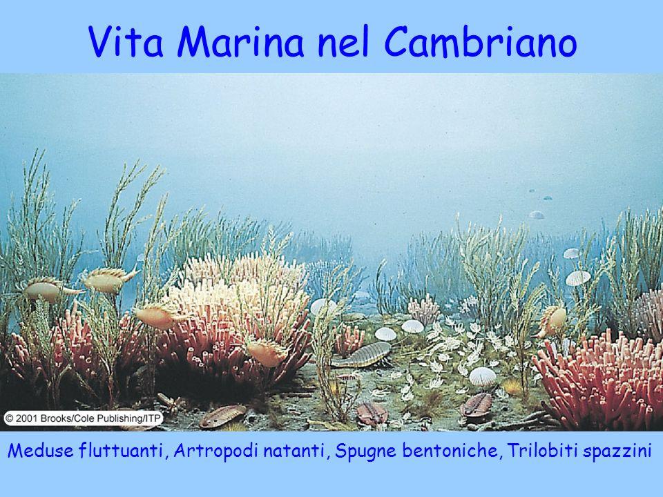 Meduse fluttuanti, Artropodi natanti, Spugne bentoniche, Trilobiti spazzini Vita Marina nel Cambriano