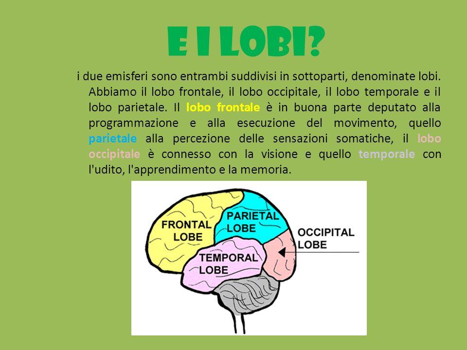 E i lobi? i due emisferi sono entrambi suddivisi in sottoparti, denominate lobi. Abbiamo il lobo frontale, il lobo occipitale, il lobo temporale e il