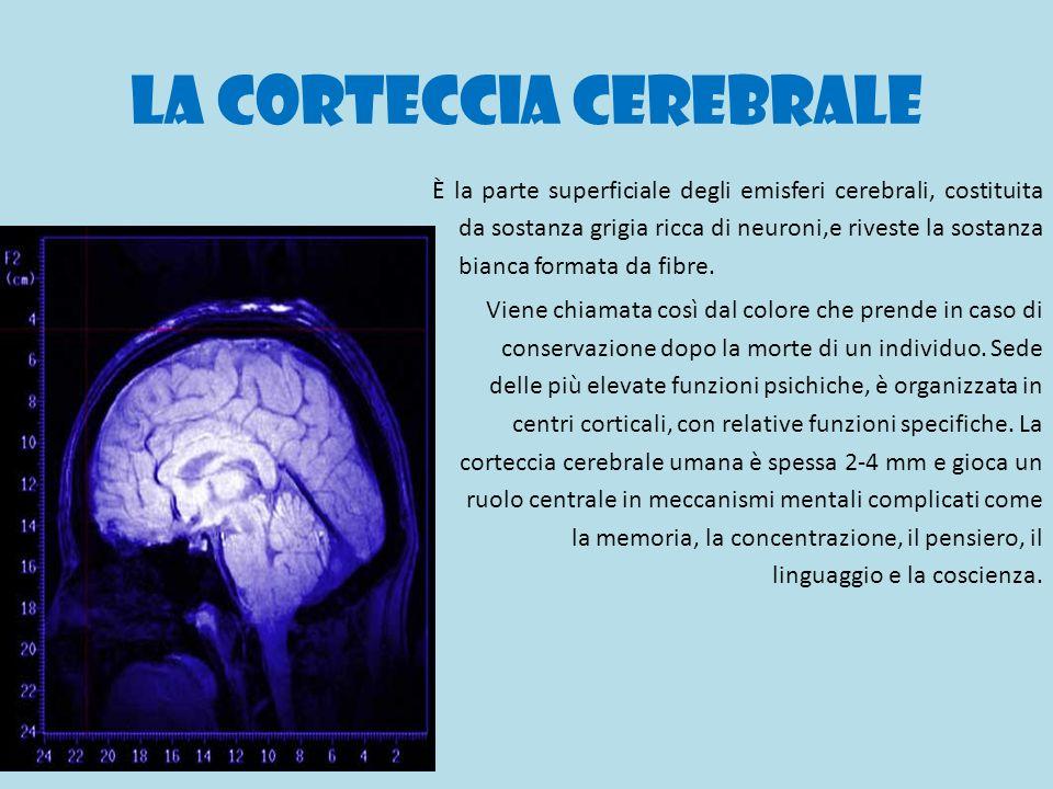 La corteccia cerebrale È la parte superficiale degli emisferi cerebrali, costituita da sostanza grigia ricca di neuroni,e riveste la sostanza bianca f