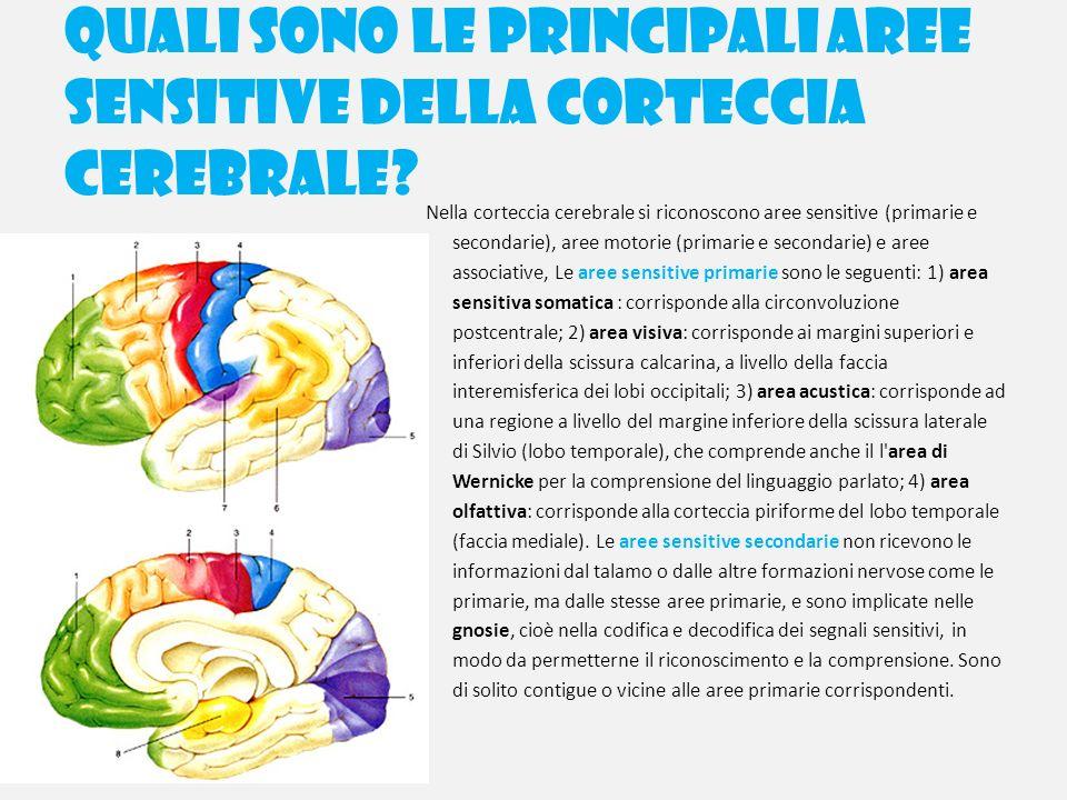 Quali sono le principali aree sensitive della corteccia cerebrale? Nella corteccia cerebrale si riconoscono aree sensitive (primarie e secondarie), ar