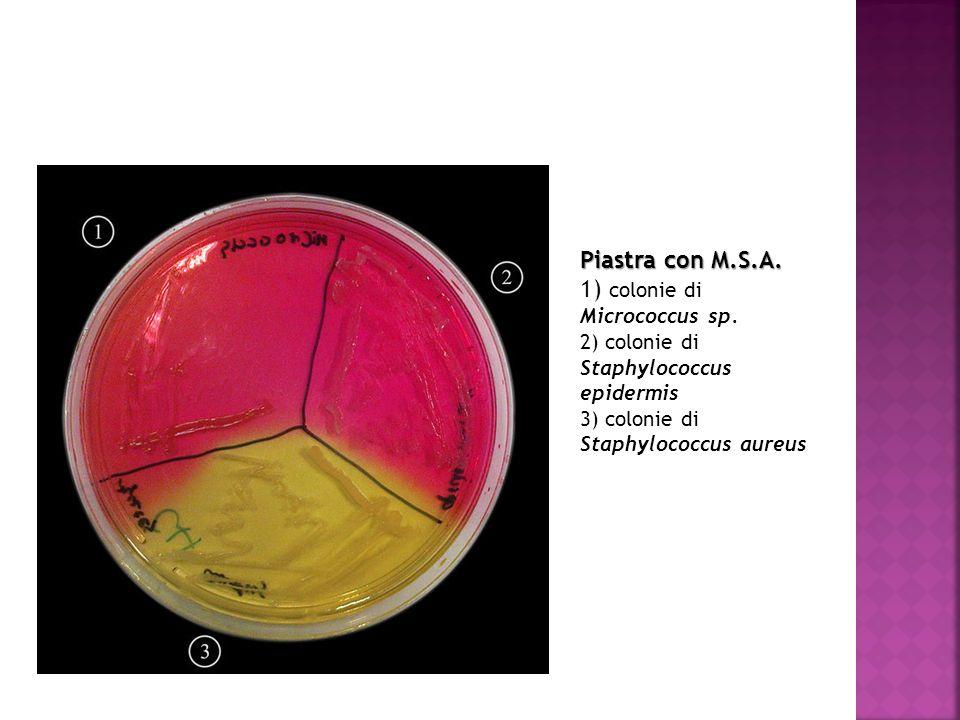 Piastra con M.S.A. 1) colonie di Micrococcus sp. 2) colonie di Staphylococcus epidermis 3) colonie di Staphylococcus aureus