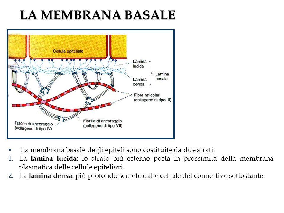 LA MEMBRANA BASALE La membrana basale degli epiteli sono costituite da due strati: lamina lucida 1.La lamina lucida : lo strato più esterno posta in prossimità della membrana plasmatica delle cellule epiteliari.