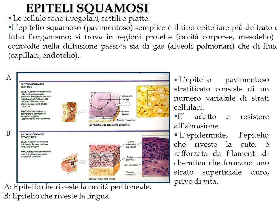 EPITELI SQUAMOSI A: Epitelio che riveste la cavità peritoneale.