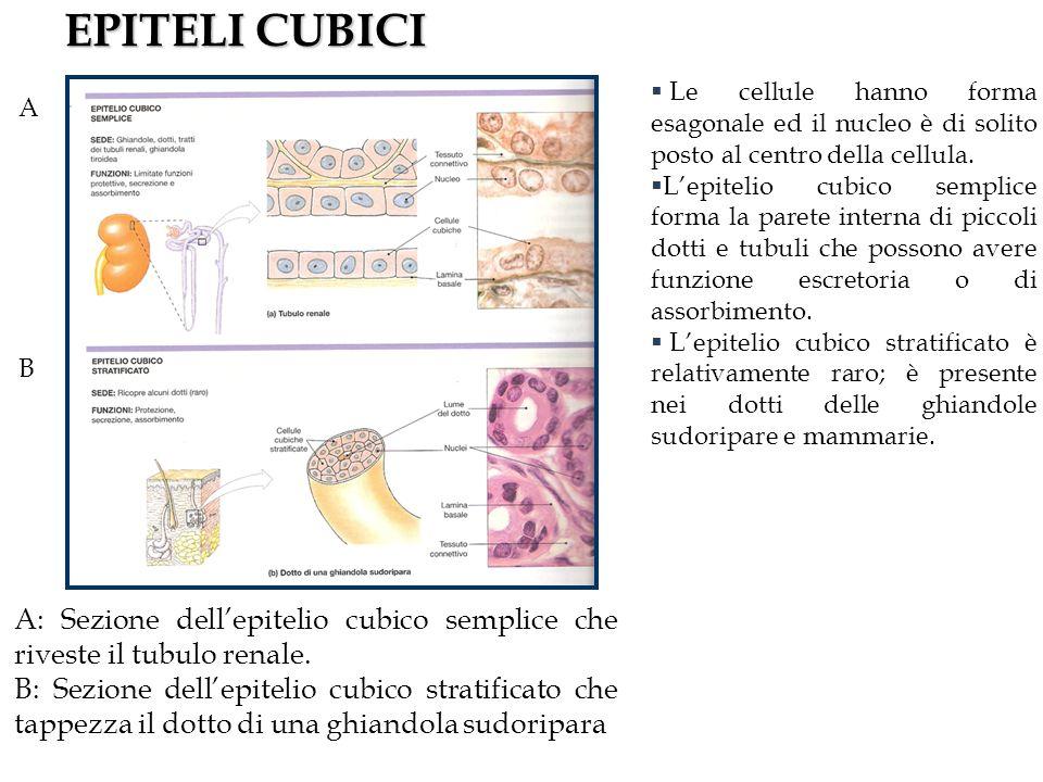 EPITELI CUBICI A B A: Sezione dellepitelio cubico semplice che riveste il tubulo renale.
