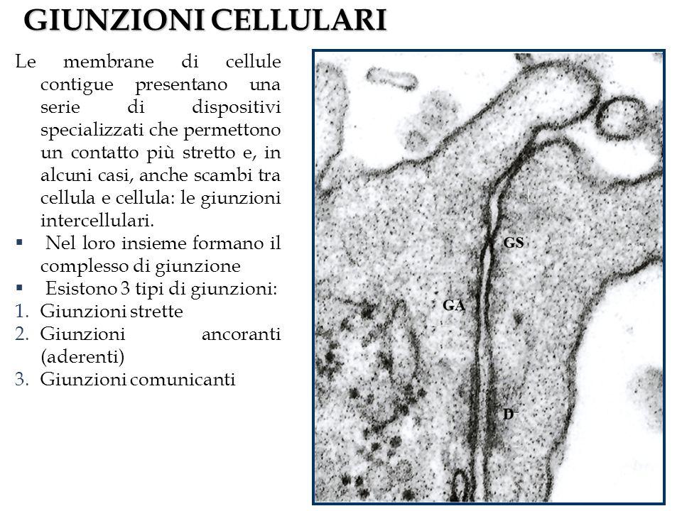 GIUNZIONI CELLULARI Le membrane di cellule contigue presentano una serie di dispositivi specializzati che permettono un contatto più stretto e, in alcuni casi, anche scambi tra cellula e cellula: le giunzioni intercellulari.
