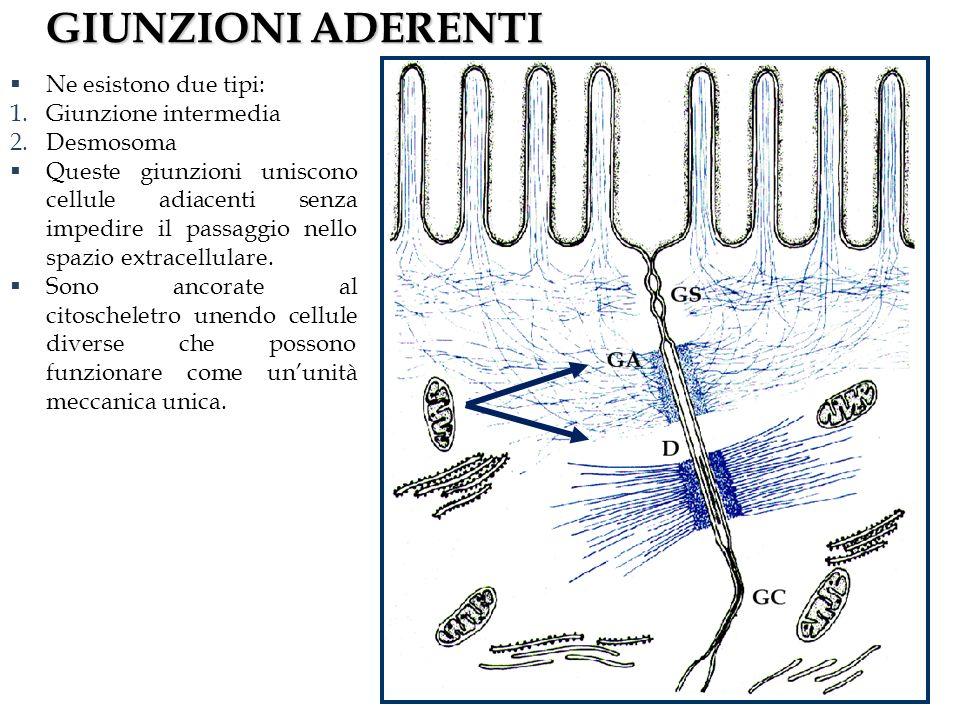 GIUNZIONI ADERENTI Ne esistono due tipi: 1.Giunzione intermedia 2.Desmosoma Queste giunzioni uniscono cellule adiacenti senza impedire il passaggio nello spazio extracellulare.
