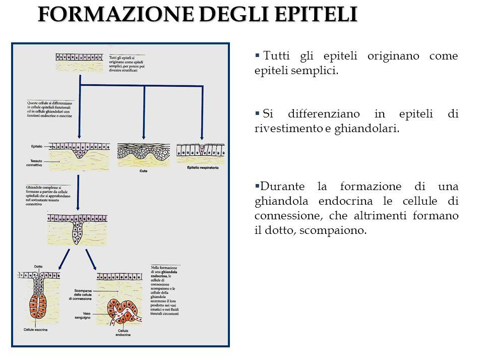 FORMAZIONE DEGLI EPITELI Tutti gli epiteli originano come epiteli semplici.
