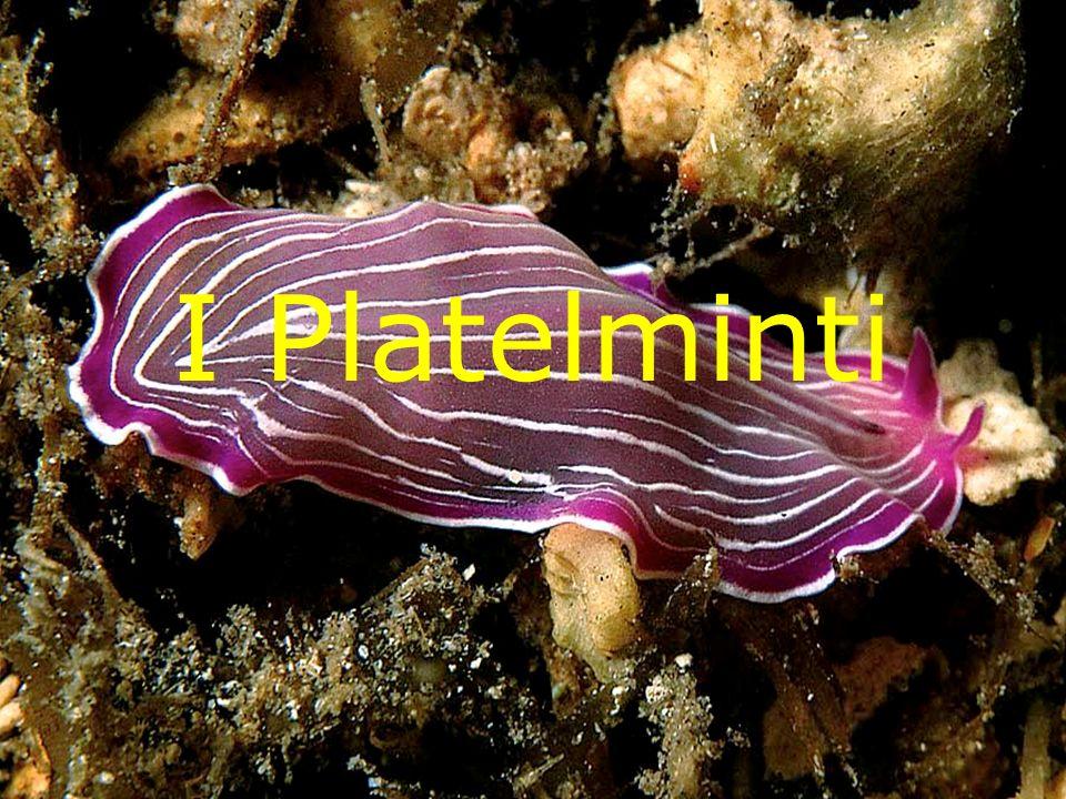 Lapparato riproduttore femminile, nei Platelminti, è composto da una o più ovaie, collegate ad una borsa seminale.