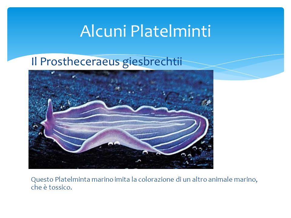 Il Prostheceraeus giesbrechtii Questo Platelminta marino imita la colorazione di un altro animale marino, che è tossico. Alcuni Platelminti