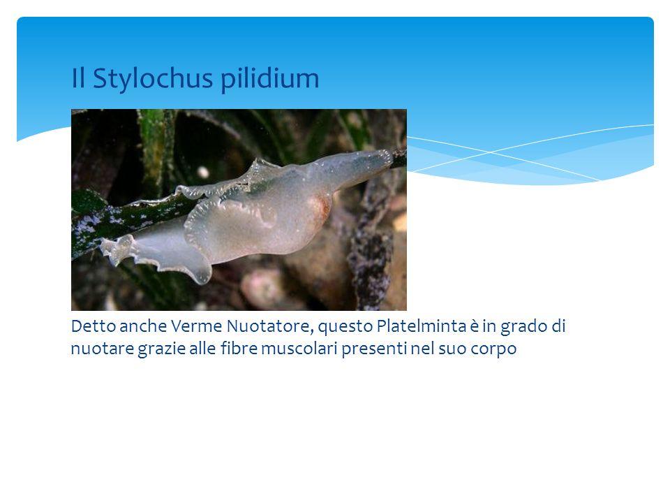 Il Stylochus pilidium Detto anche Verme Nuotatore, questo Platelminta è in grado di nuotare grazie alle fibre muscolari presenti nel suo corpo