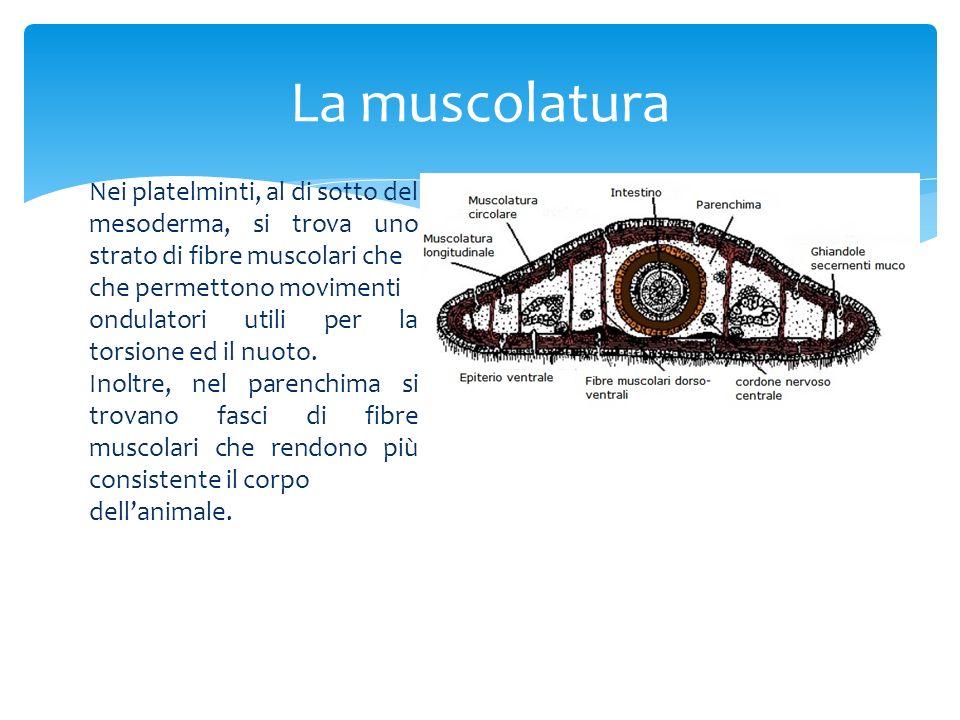 La muscolatura Nei platelminti, al di sotto del mesoderma, si trova uno strato di fibre muscolari che che permettono movimenti ondulatori utili per la
