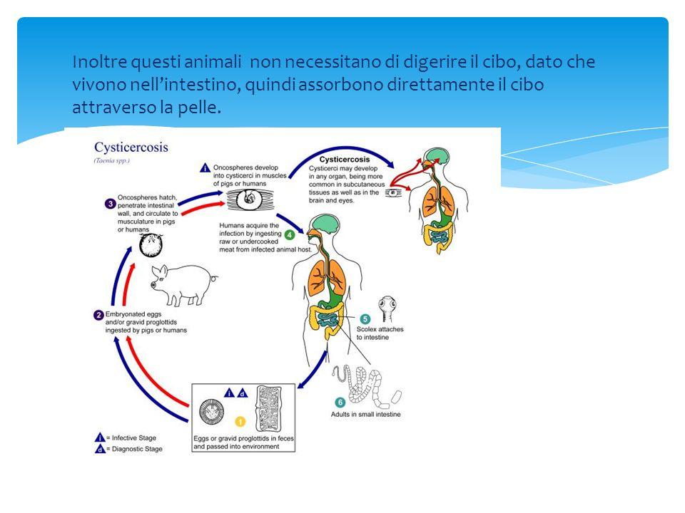 Sistema nervoso e sensoriale Nel phylum dei Platelminti si possono trovare due diversi tipi di sistema nervoso: uno più complesso, e quindi più evoluto, e uno più semplice: Nei Platelminti meno evoluti il sistema nervoso risulta più semplice e composto da una rete nervosa sub-epiteliale (sotto pelle) e non centralizzata; Nei platelminti più complessi si ha un sistema più sviluppato e composto da gangli nervoso allaltezza dello scolice, dai quali si dipartono una o più coppie di cordoni nervosi che.