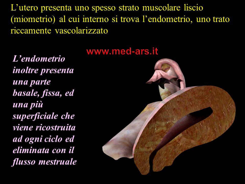 Lutero presenta uno spesso strato muscolare liscio (miometrio) al cui interno si trova lendometrio, uno trato riccamente vascolarizzato Lendometrio in