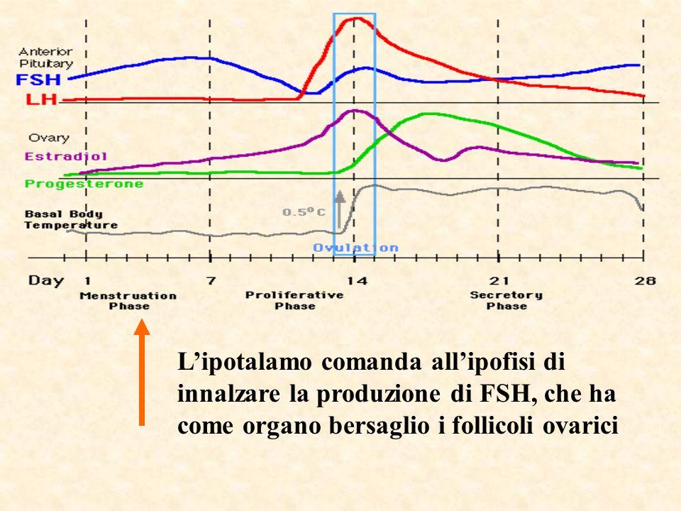 Lipotalamo comanda allipofisi di innalzare la produzione di FSH, che ha come organo bersaglio i follicoli ovarici
