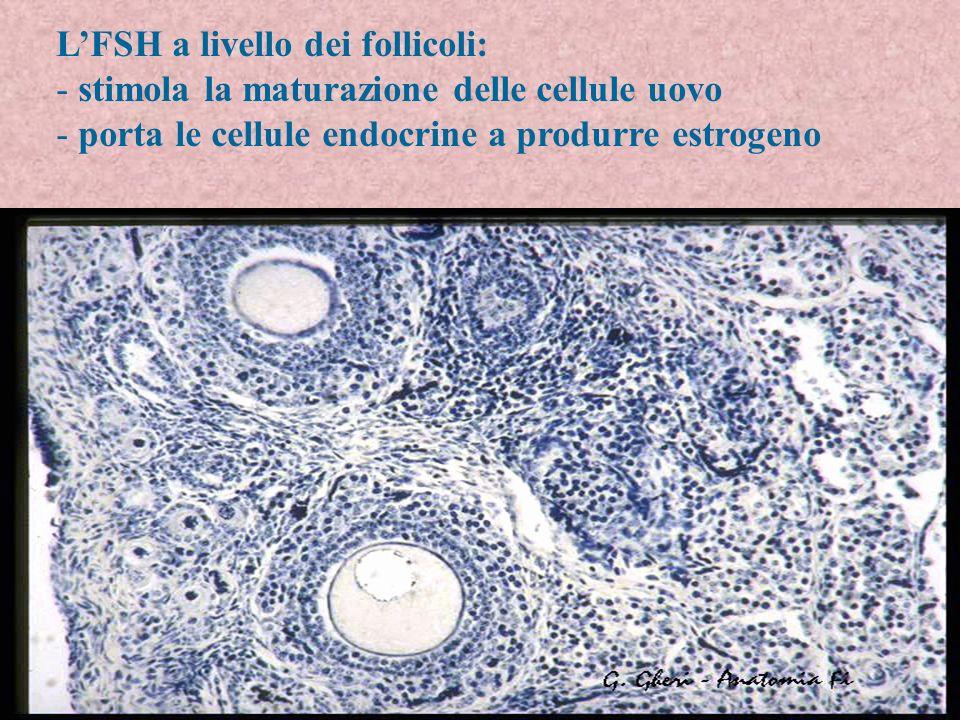 LFSH a livello dei follicoli: - stimola la maturazione delle cellule uovo - porta le cellule endocrine a produrre estrogeno