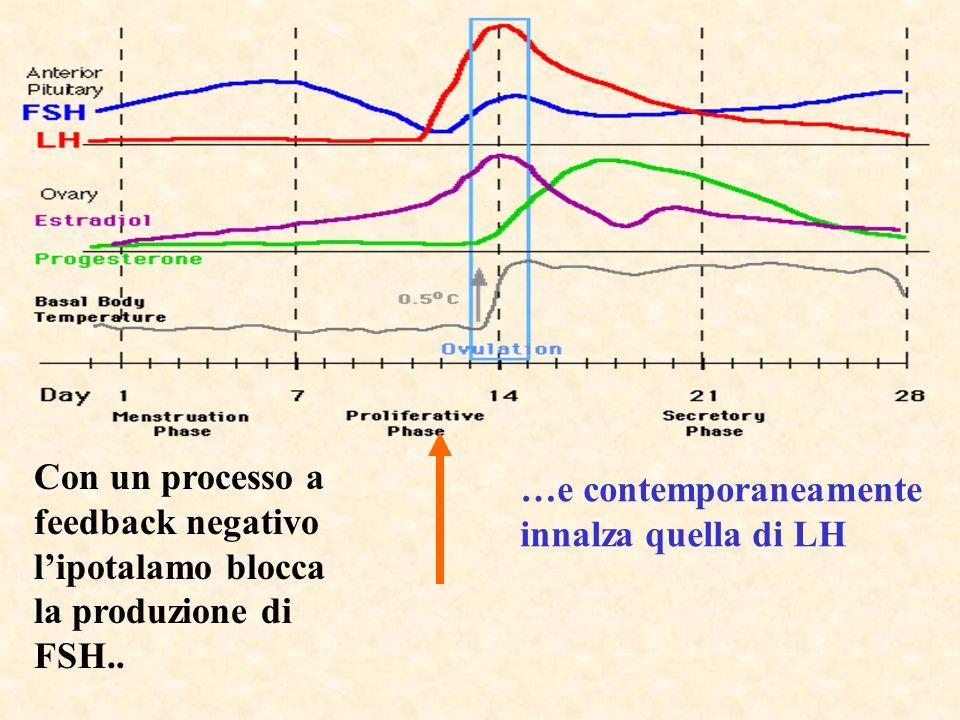 Con un processo a feedback negativo lipotalamo blocca la produzione di FSH.. …e contemporaneamente innalza quella di LH