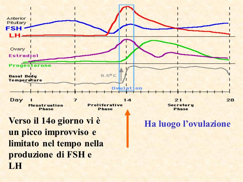 Verso il 14o giorno vi è un picco improvviso e limitato nel tempo nella produzione di FSH e LH Ha luogo lovulazione