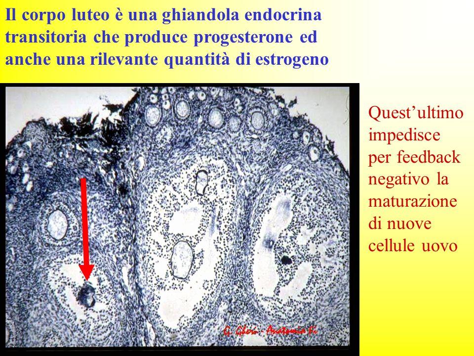 Il corpo luteo è una ghiandola endocrina transitoria che produce progesterone ed anche una rilevante quantità di estrogeno Questultimo impedisce per f