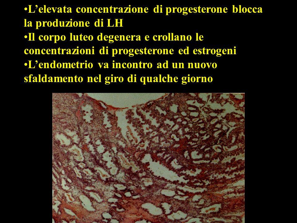 Lelevata concentrazione di progesterone blocca la produzione di LH Il corpo luteo degenera e crollano le concentrazioni di progesterone ed estrogeni L