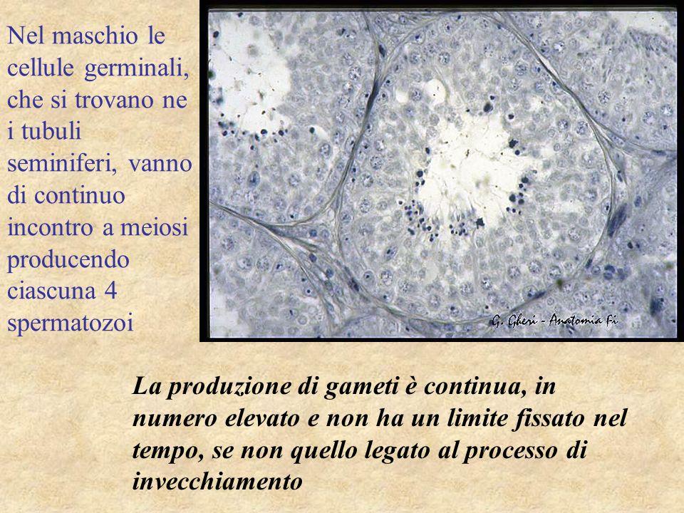 Nel maschio le cellule germinali, che si trovano ne i tubuli seminiferi, vanno di continuo incontro a meiosi producendo ciascuna 4 spermatozoi La prod