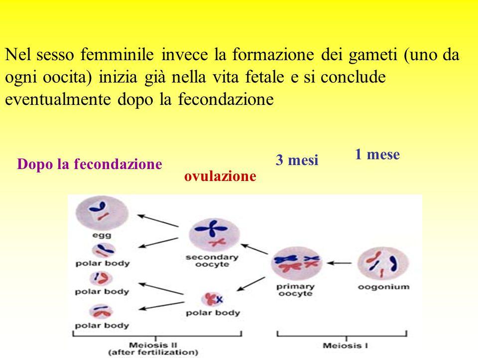 Nel sesso femminile invece la formazione dei gameti (uno da ogni oocita) inizia già nella vita fetale e si conclude eventualmente dopo la fecondazione