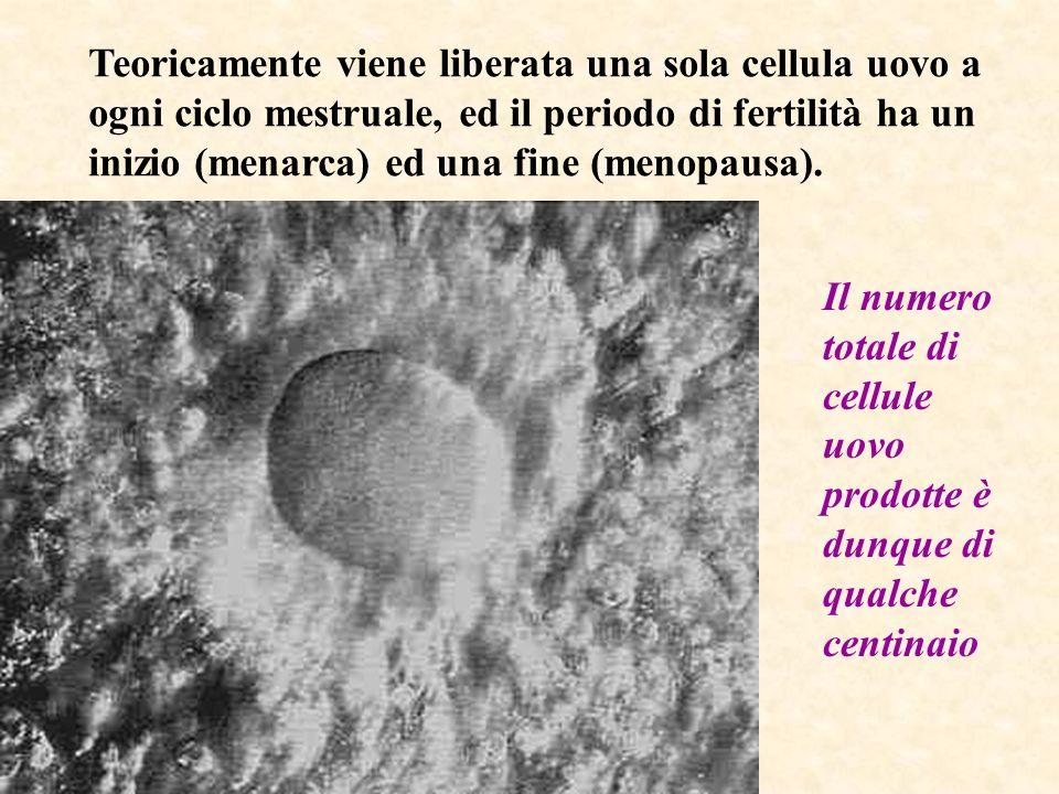 Teoricamente viene liberata una sola cellula uovo a ogni ciclo mestruale, ed il periodo di fertilità ha un inizio (menarca) ed una fine (menopausa). I
