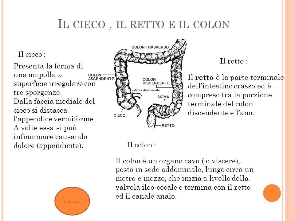 Inte.cra. I L CIECO, IL RETTO E IL COLON Il colon è un organo cavo ( o viscere), posto in sede addominale, lungo circa un metro e mezzo, che inizia a