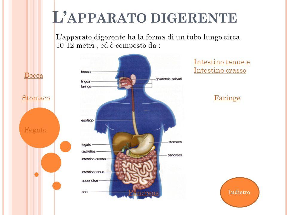 L APPARATO DIGERENTE Faringe Fegato Stomaco Bocca Intestino tenue e Intestino crasso Pancreas Lapparato digerente ha la forma di un tubo lungo circa 1