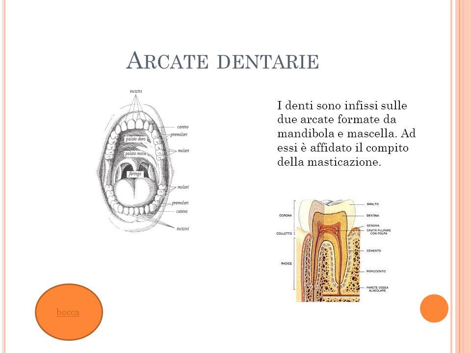 A RCATE DENTARIE bocca I denti sono infissi sulle due arcate formate da mandibola e mascella. Ad essi è affidato il compito della masticazione.