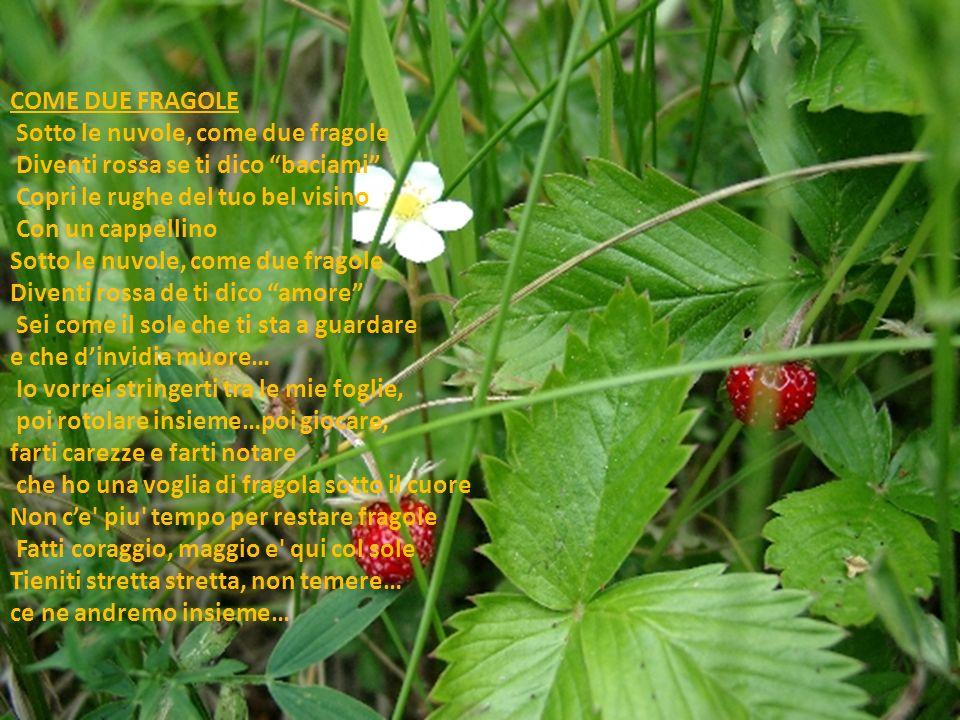 COME DUE FRAGOLE Sotto le nuvole, come due fragole Diventi rossa se ti dico baciami Copri le rughe del tuo bel visino Con un cappellino Sotto le nuvole, come due fragole Diventi rossa de ti dico amore Sei come il sole che ti sta a guardare e che dinvidia muore… Io vorrei stringerti tra le mie foglie, poi rotolare insieme…poi giocare, farti carezze e farti notare che ho una voglia di fragola sotto il cuore Non ce piu tempo per restare fragole Fatti coraggio, maggio e qui col sole Tieniti stretta stretta, non temere… ce ne andremo insieme…