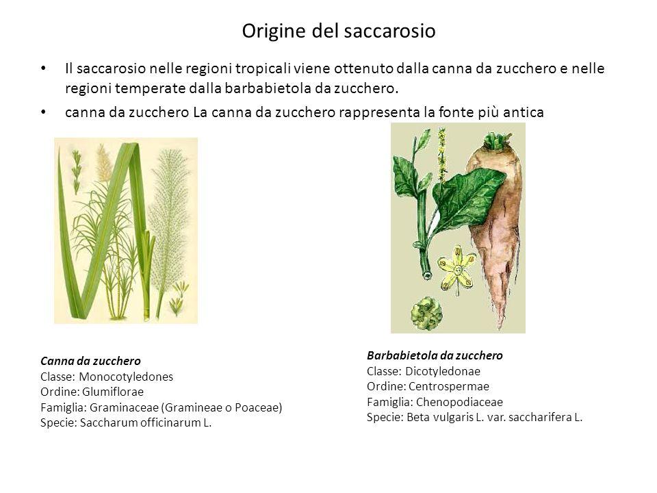 Il saccarosio nelle regioni tropicali viene ottenuto dalla canna da zucchero e nelle regioni temperate dalla barbabietola da zucchero. canna da zucche